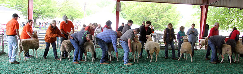 line up of border leicester exhibitors at the maryland sheep and wool festival