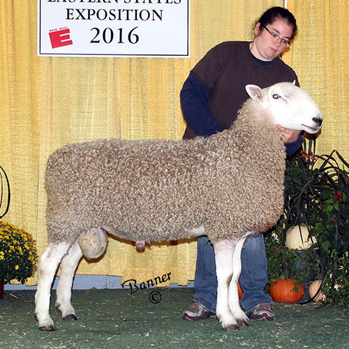 grand champion ram maybe tomorrow farm