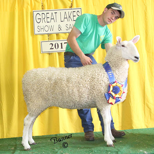 grand champion ewe at the 2017 great lakes show and sale