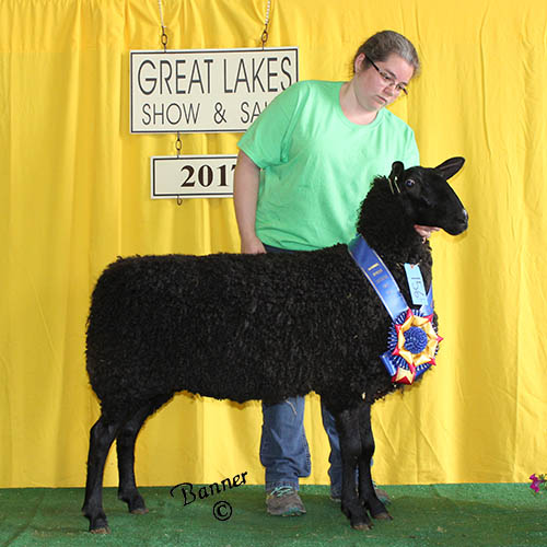 grand champion natural colored ewe at the 2017 great lakes show and sale
