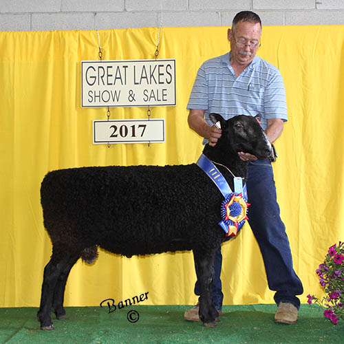 grand champion natural colored ram at the 2017 great lakes show and sale
