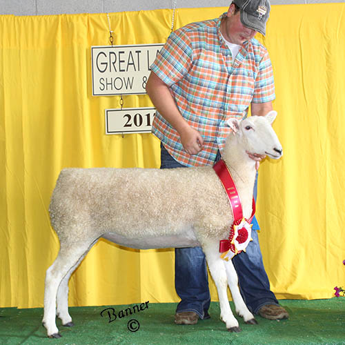 reserve champion ewe at the 2017 great lakes show and sale