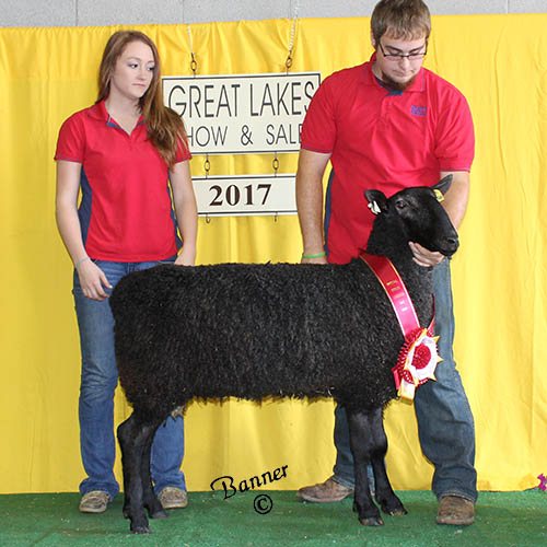 reserve champion natural colored ram at the 2017 great lakes show and sale