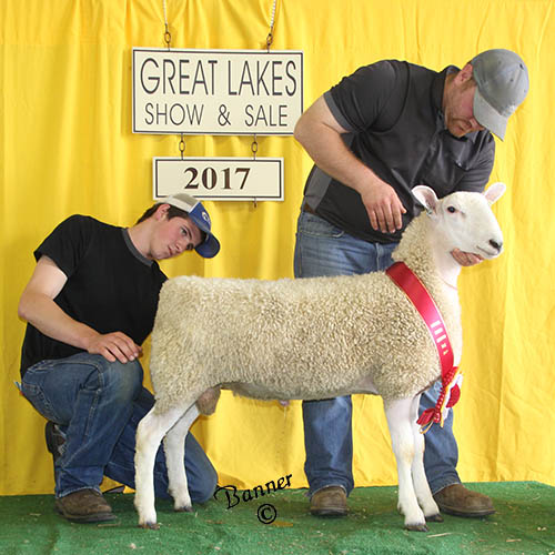 reserve champion ram at the 2017 great lakes show and sale