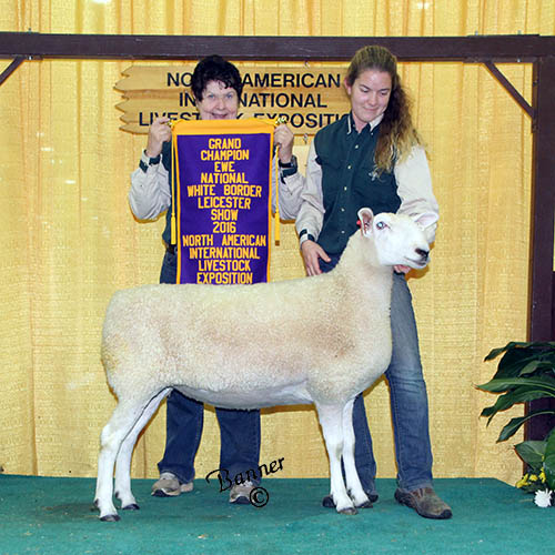 grand champion ewe overlook manor farm
